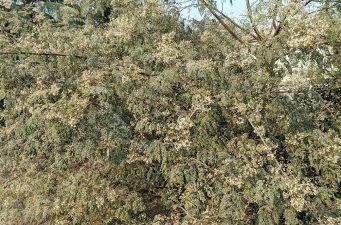 দিনাজপুরের ফুলবাড়ীতে সজিনার ফুলের সাদা সমারোহ